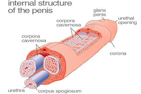 penis interior totul despre bărbați și penisuri