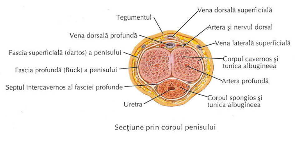 penis corpul uman)