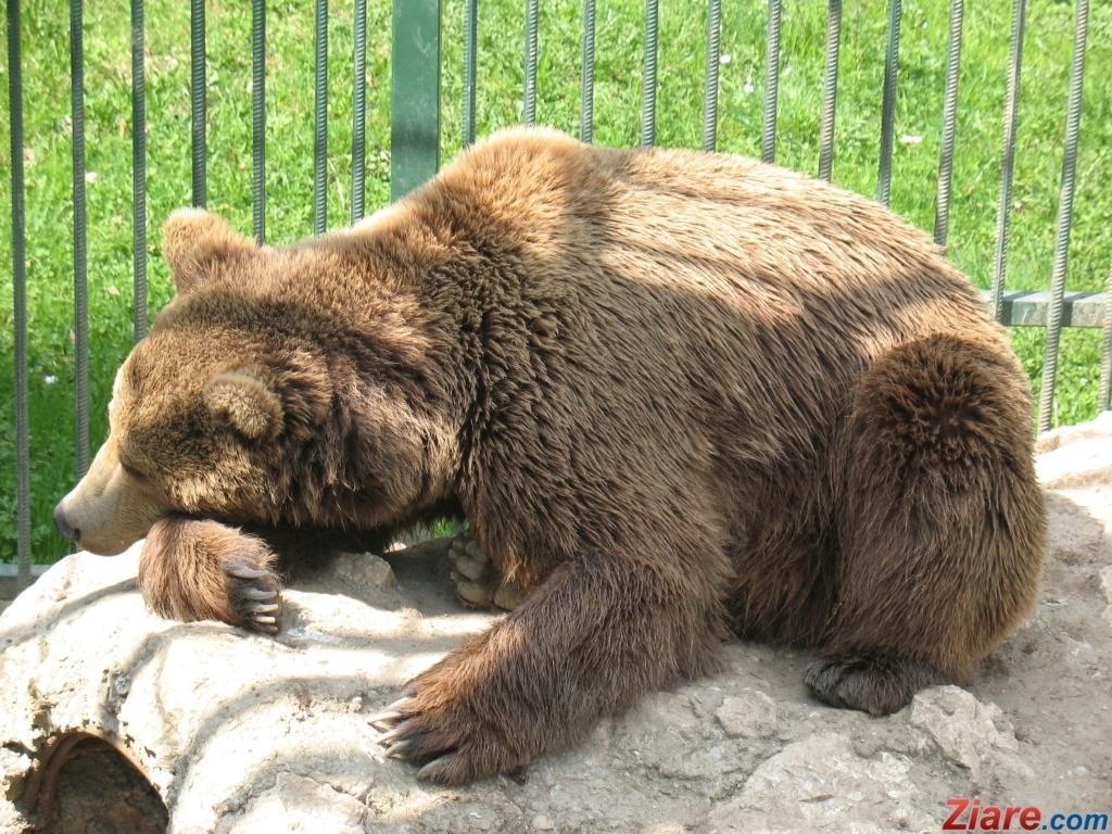 ursul penisului cum afectează sarea erecția