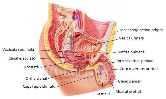 structura penisului în anatomie