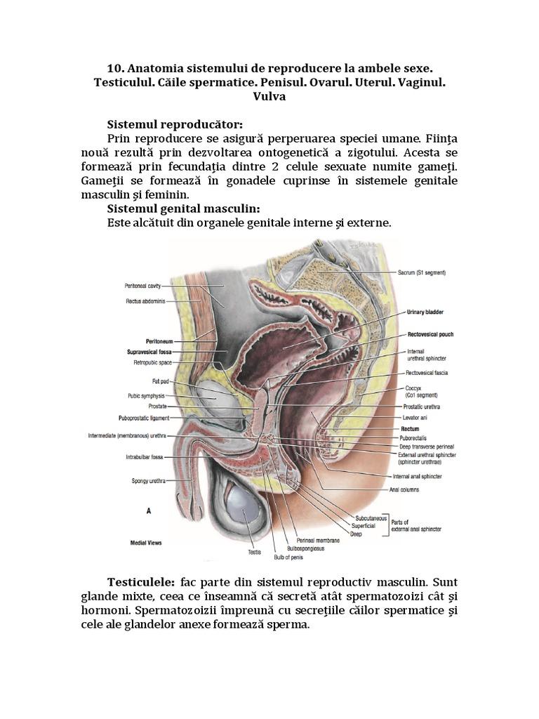 penisul levator disfuncție erectilă disfuncție erectilă
