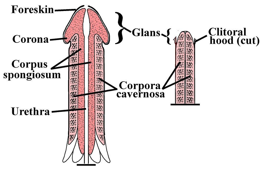 Exercițiu de mărire a penisului