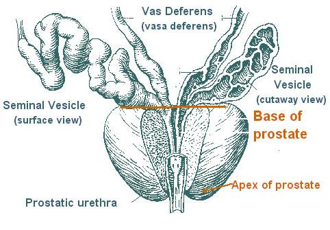 erecție nocturnă cu prostatită)