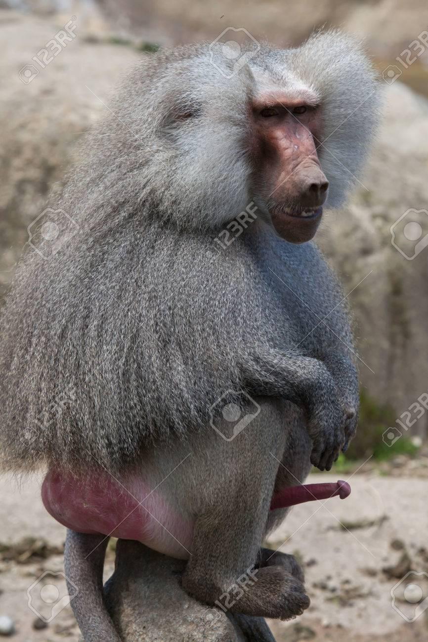 penisuri la primate)