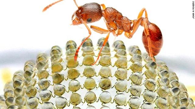furnici și erecție