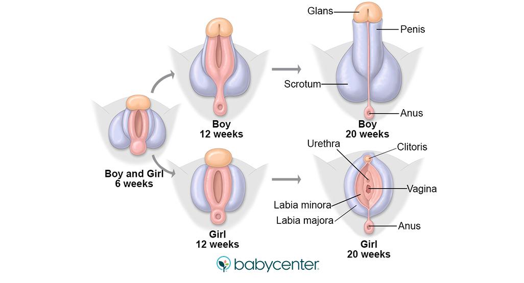 extindere penis pro extender