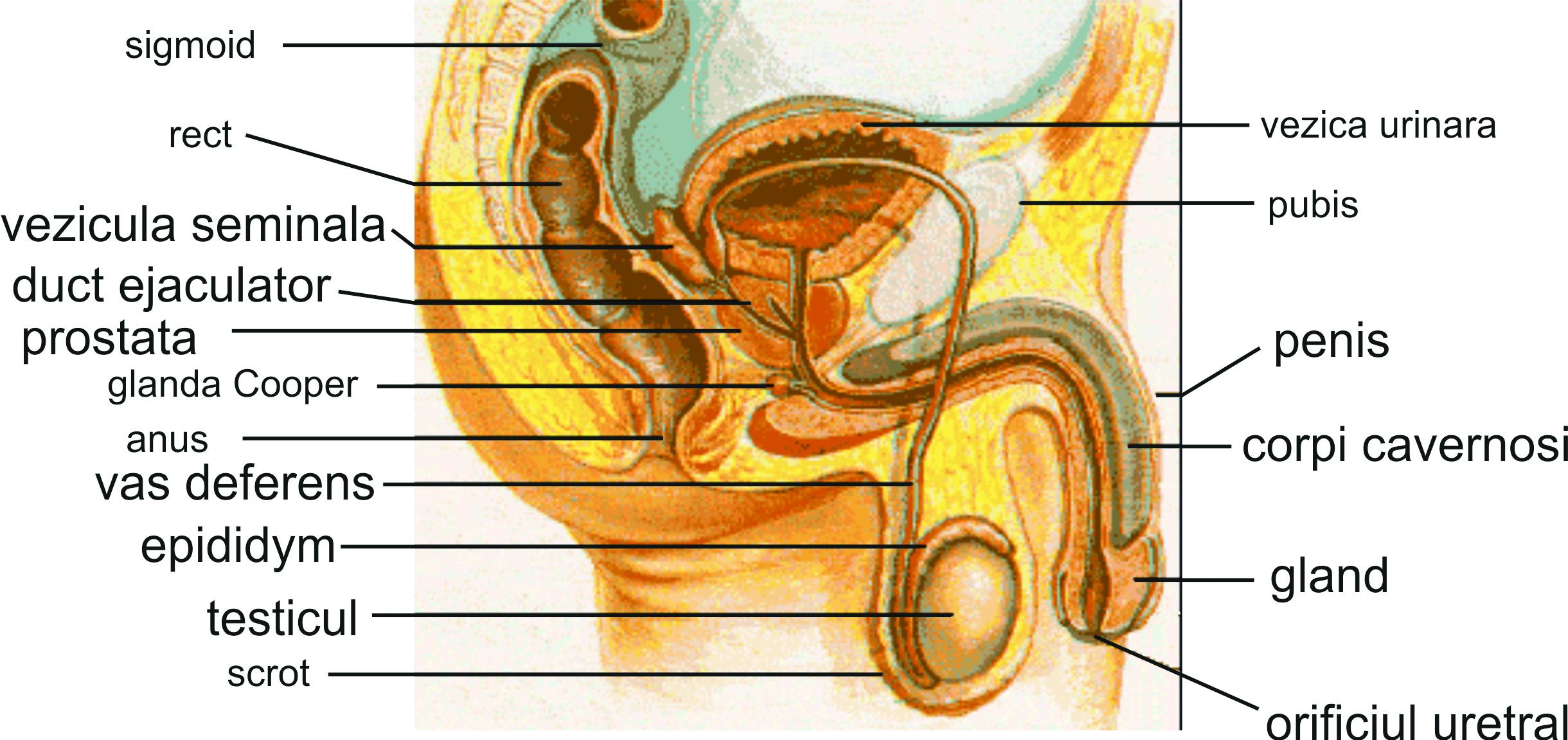 forma și structura penisului)