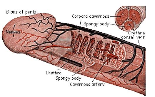 dimensiunea și forma penisului)
