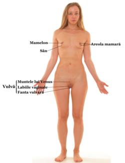 erecția organelor genitale feminine