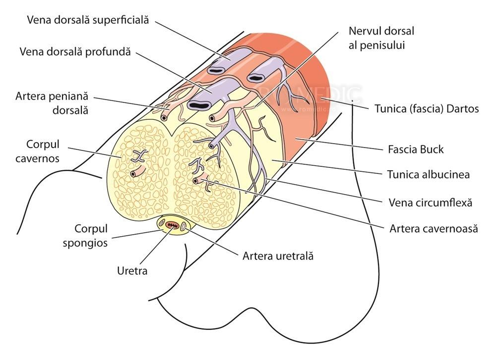 interiorul penisului