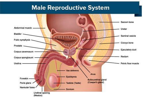 părți penis masculin