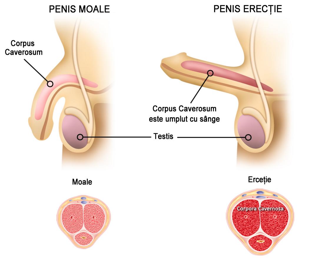 penisul este moale când este erect)