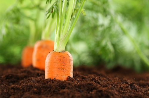 creșterea morcovului și a penisului