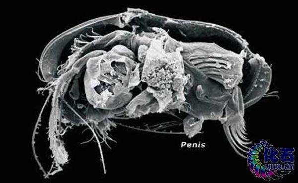 dimensiunea penisului gorilă