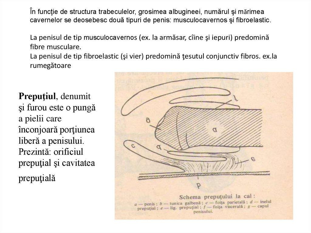 schema structurii penisului