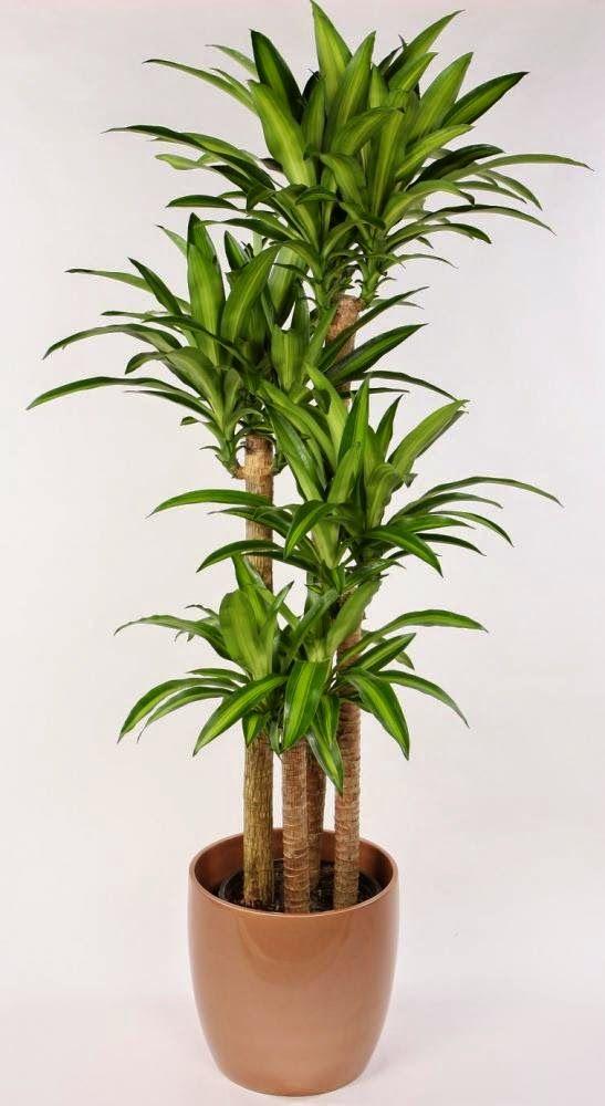 care plante cresc erecția)