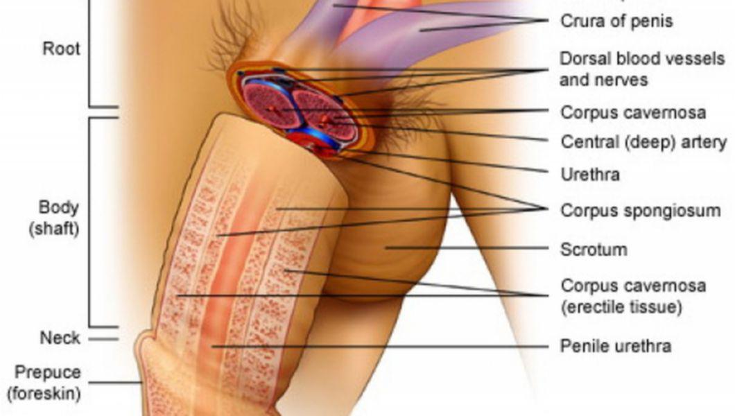 organul genital masculin în stare de erecție
