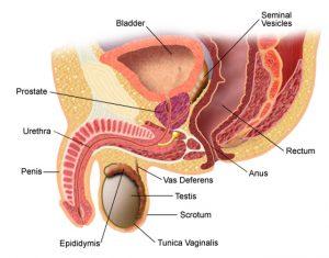 funcția prostatei în timpul erecției)