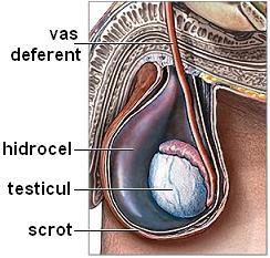 modul în care testiculele afectează erecția la bărbați)
