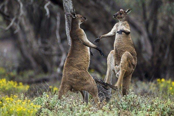 TOP-25: Curiozități despre canguri