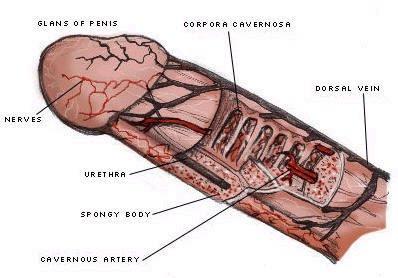 penisul cacat forma și dimensiunea penisului la bărbați