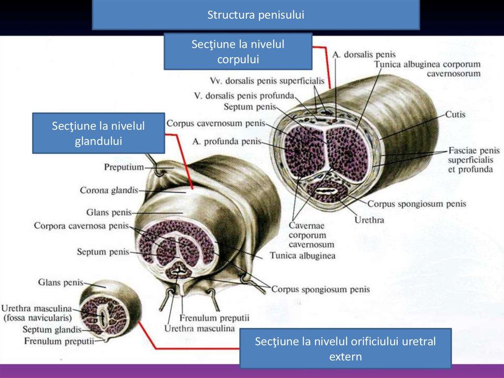 structura penisului și a testiculelor în