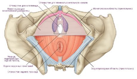 erectie perineu