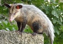 Opossum - Opossum - alaskanmalamutes.ro