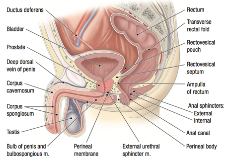 Anatomia si fiziologia rectului