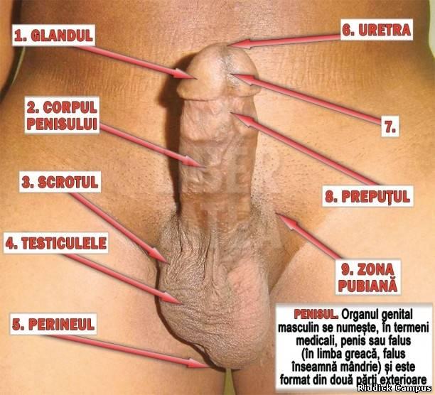 Raspunsuri la intrebari indiscrete despre organul genital masculin