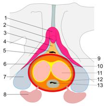 erecția punctului corpului)