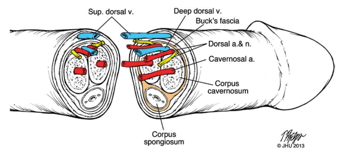 transplant de penis)