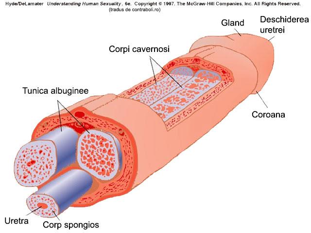 structura penisului ca diagramă)