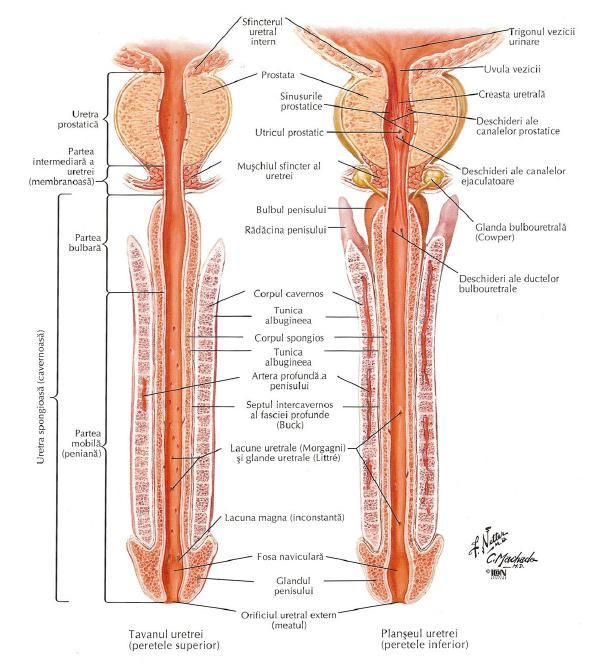 penisul masculin în repaus