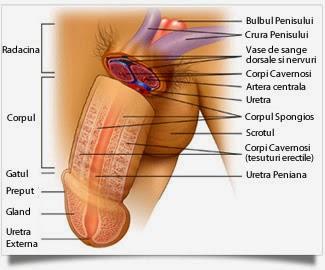 boala de erectie a penisului