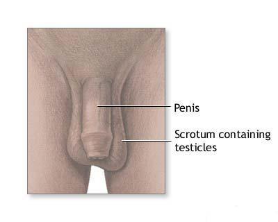 organul genital masculin în stare de erecție cum se mărește penisul în grosime