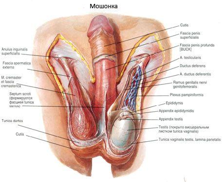 penisul masculin și penisul