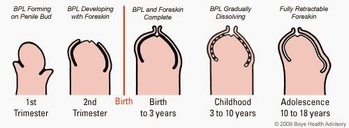 totul despre dezvoltarea penisului)