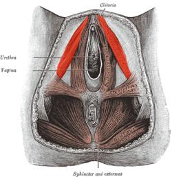 penisul levator)