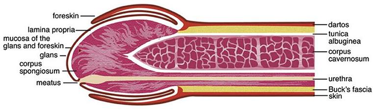 impact de erecție care ar putea fi motivul lipsei erecției matinale
