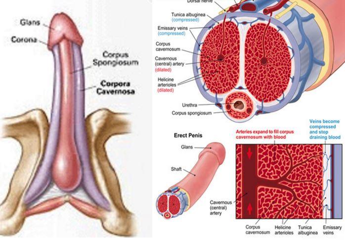 erecție și excitare