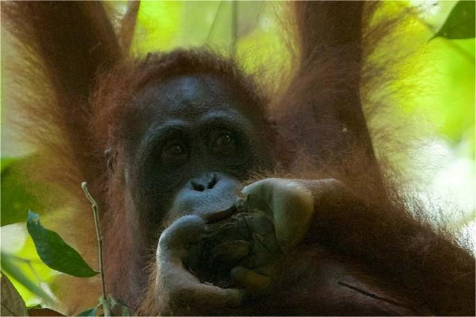 penisuri de orangutan