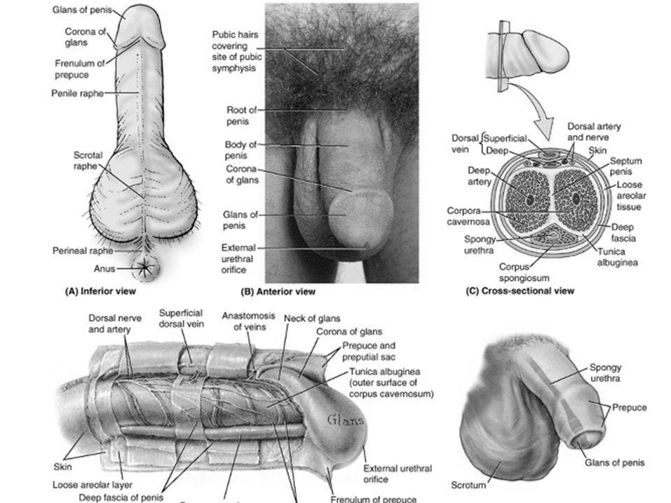 ce prezintă dacă un penis mic)
