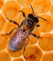 Produsele stupului - miere, polen,propollis