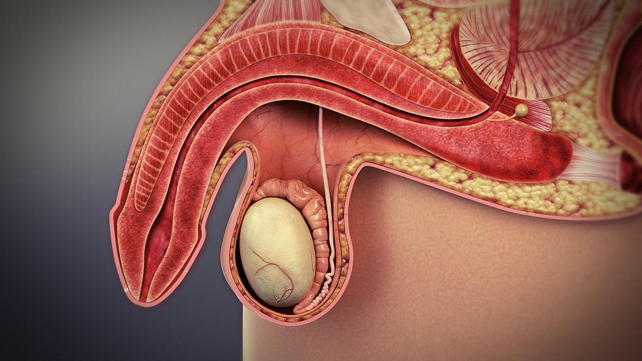 organe de înlocuire a penisului