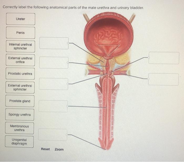 Uretra la barbat | Anatomie si fiziologie