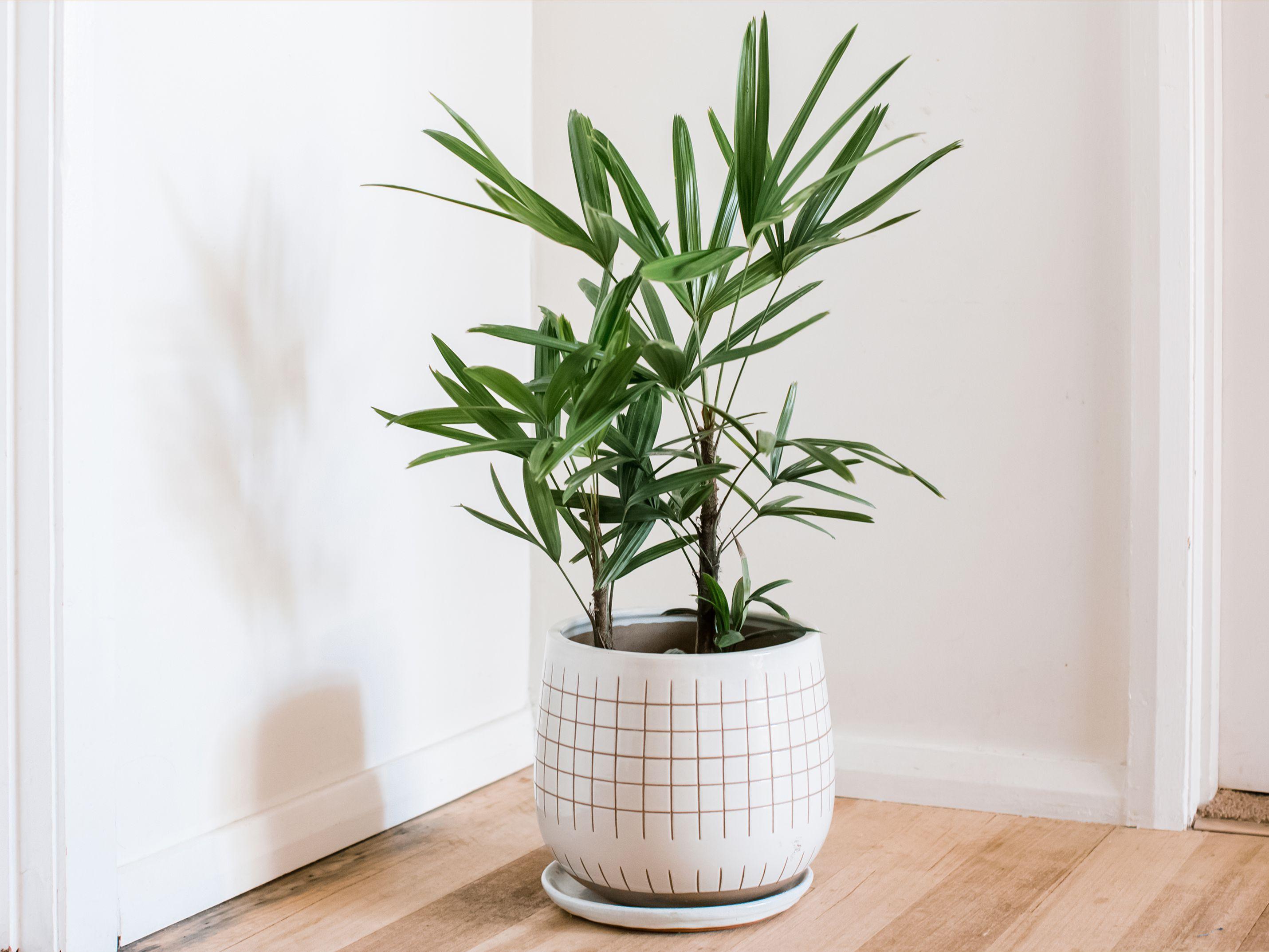 planta care ridică erecții)