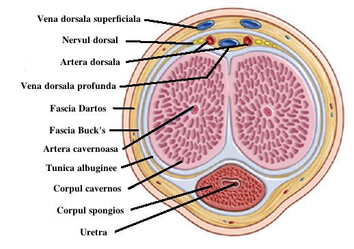 rezecția penisului