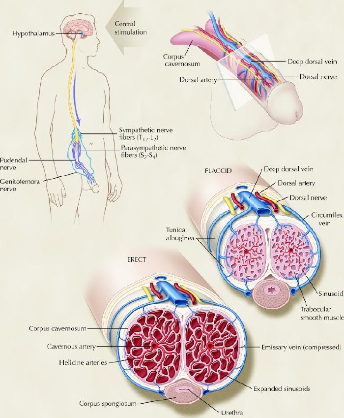 structura penisului la un bărbat