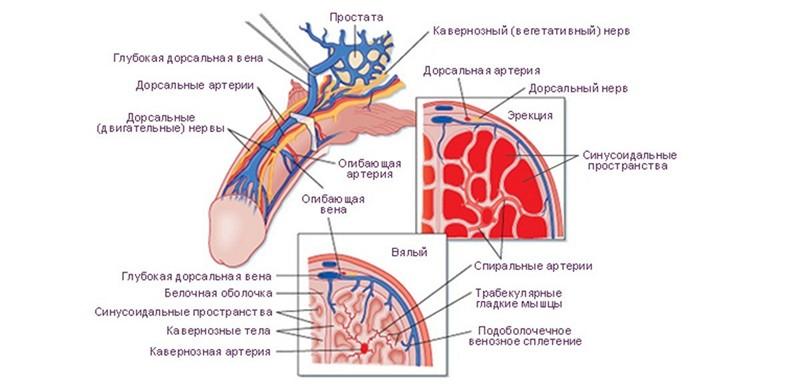 structura penisului în timpul erecției)